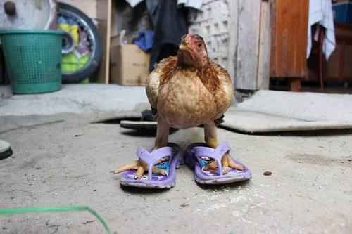chicken in flip flops